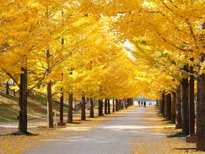 あづま総合運動公園 イチョウ並木