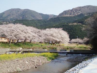 松崎町那珂川の桜並木