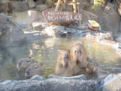 伊豆シャボテン動物公園のカピバラ温泉