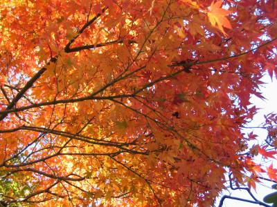 【秋】修善寺もみじ林の紅葉