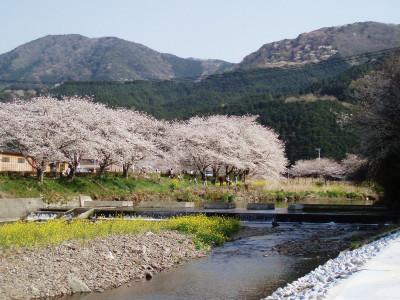 那賀川沿いの桜(3月下旬から4月上旬)