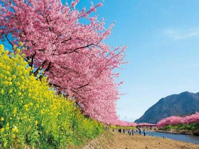 【春】河津桜