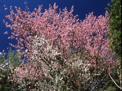 【冬】早咲きの土肥桜