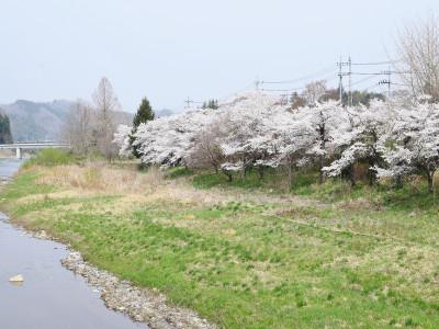 久慈川の桜並木