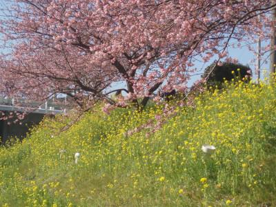 南伊豆の桜と菜の花