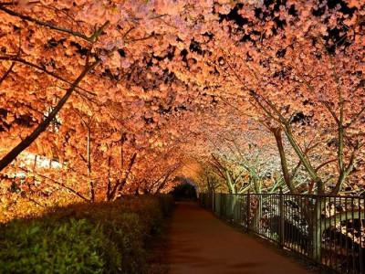 河津桜(夜)