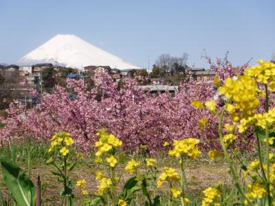 かんなみの桜まつり