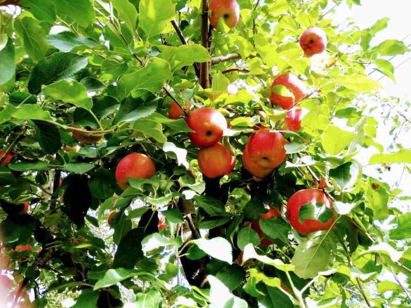 「樹上完熟」させたりんご