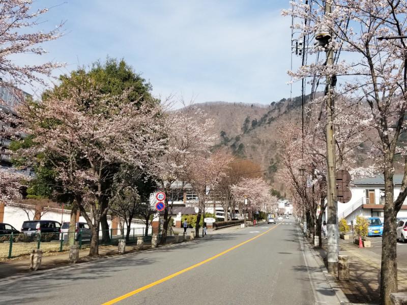さくら通りの桜並木(3月27日現在)
