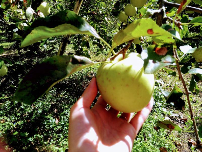 りんご園によって様々な品種を栽培