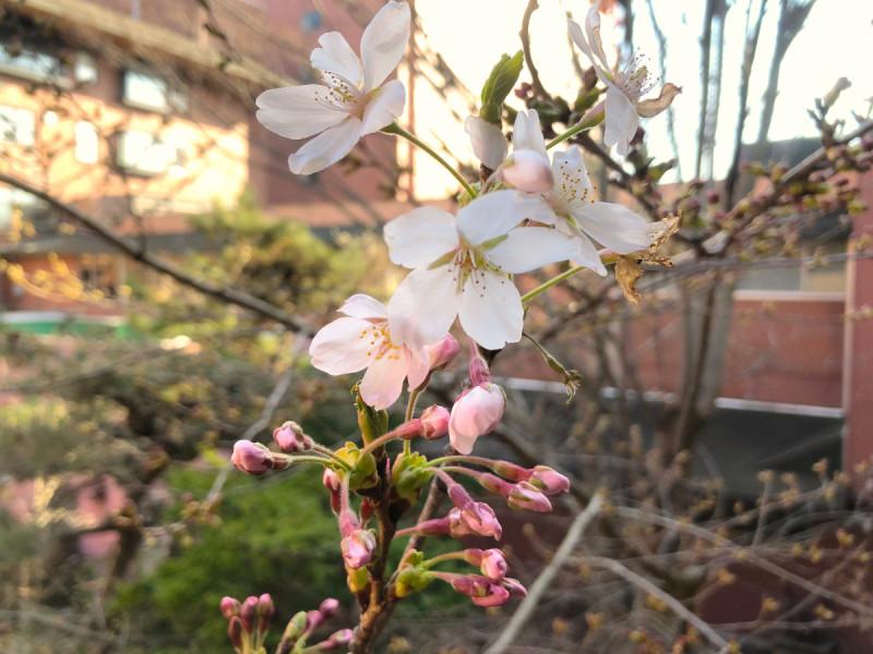 2021年4月10日に開花