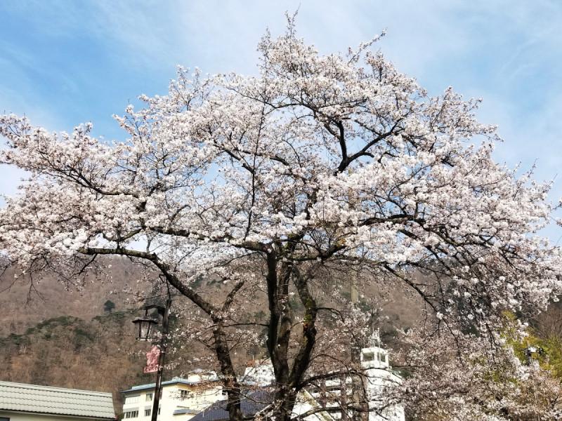 ホテル近くの桜の木